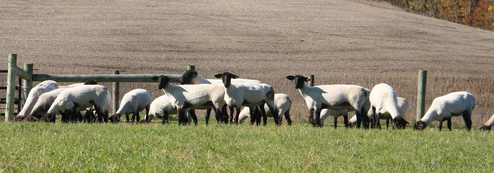 United Suffolk Sheep Association   WELCOME