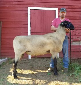 United Suffolk Sheep Association | Classifieds